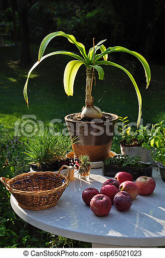 A table with flowers and red apples in the morning in the garden. - csp65021023