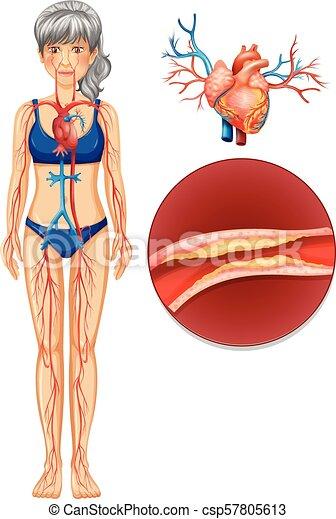 A the human vascular system illustration.