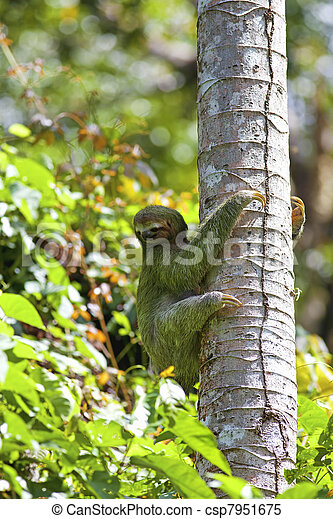 A Three Toed Sloth Climbing Down The Tree In Manuel Antonio National