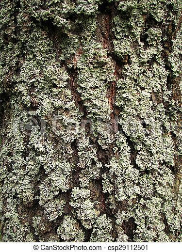 a tree bark texture with moss - csp29112501