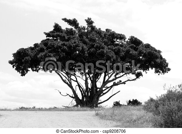 Line Art Umbrella : A umbrella tree. shaped tree in south africa stock