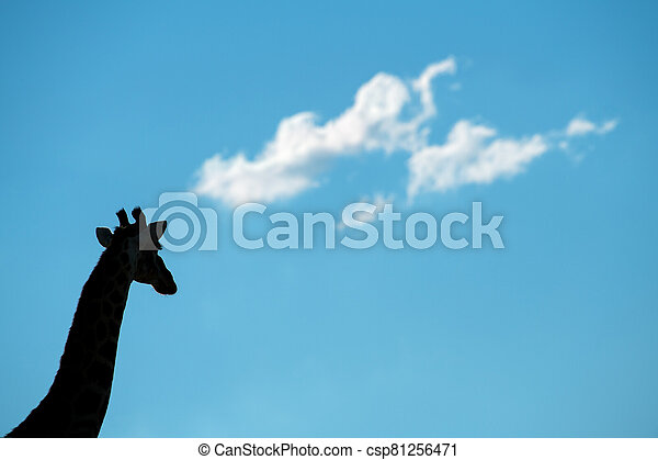 A walking giraffe silhouetted against a blue sky with clouds - csp81256471