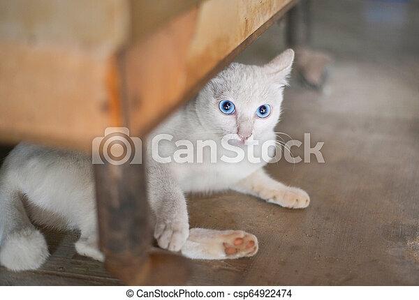 a white cat blue eyes / Kitten white lying on greund under table - csp64922474