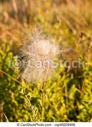 A white fluffly cloud of milk thistle flower heads in the stock a white fluffly cloud of milk thistle flower heads in the summer windy field csp49209406 mightylinksfo