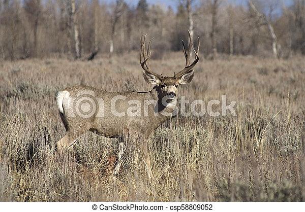 A Wyoming Mule Deer Buck Male Keeps an Eye on Me - csp58809052