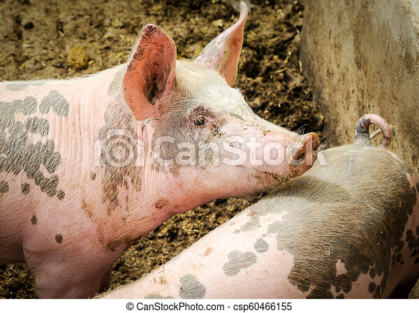 A young pig on an organic farm in Germany - csp60466155