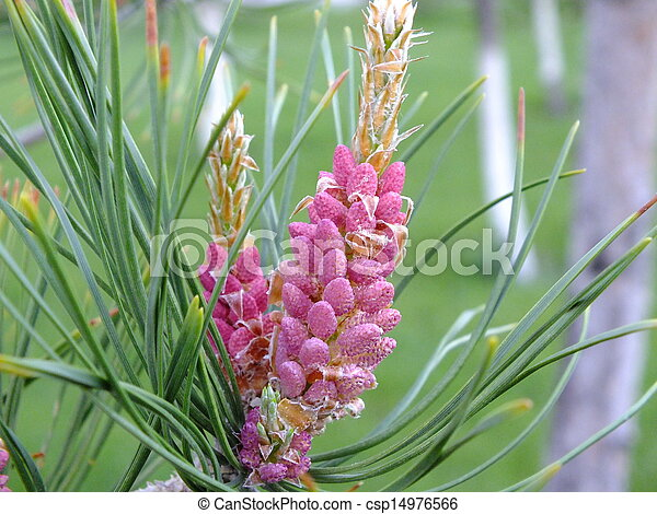 A young pink cone of a pine tree a young pink cone of a pine like tree a young pink cone of a pine tree csp14976566 mightylinksfo