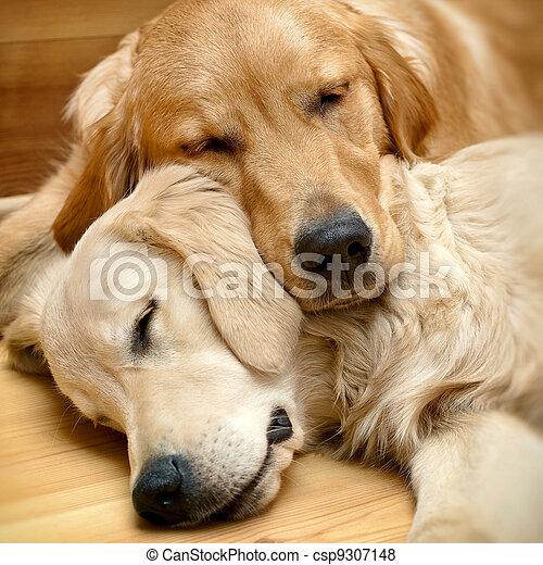 aanzicht, honden, het liggen, twee - csp9307148
