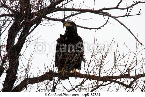 abaixar, refúgio, eagle., foto, nacional, calvo, fauna, klamath, ca., levado - csp5187534