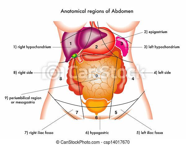 Abdomen Illustration Of Anatomical Regions Of Abdomen