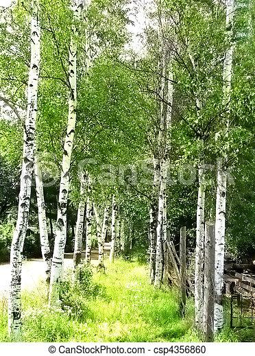 Birches - csp4356860