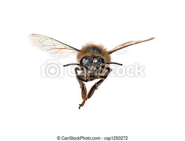 abelha, mel, direita, olhar, tu - csp1250272