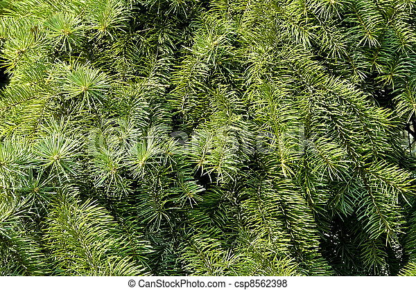 abeto, verde - csp8562398