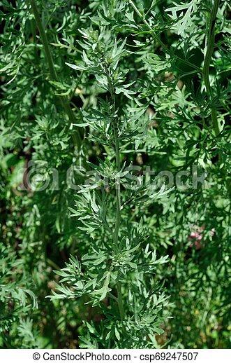 absinthe in a garden - csp69247507