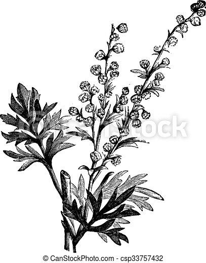 Absinthe Plant Artemisia Absinthium Or Wormwood Engraving