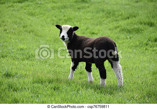 Absolutely Adorable Baby Lamb in a Grass Field - csp76759811