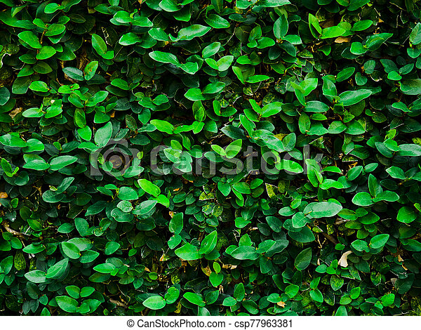 Abstract background of dark green leaves on the wall. - csp77963381