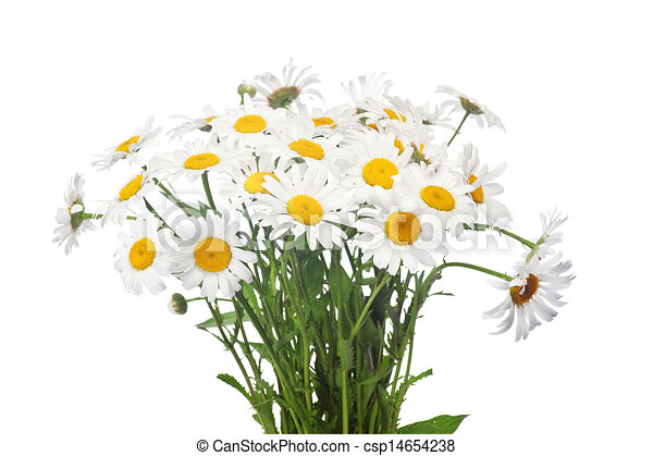 Daisy Flower Line Drawing : Abstract flower background chamomile drawings
