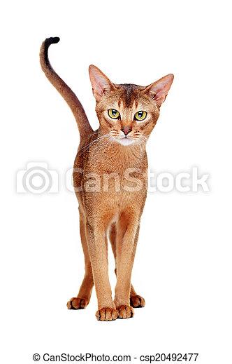 Abyssinian Cat Ireland