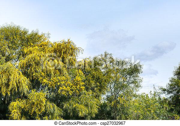acacia fruehjahr sizilien b ume mimose jahreszeit italien springen jahreszeit sizilien. Black Bedroom Furniture Sets. Home Design Ideas