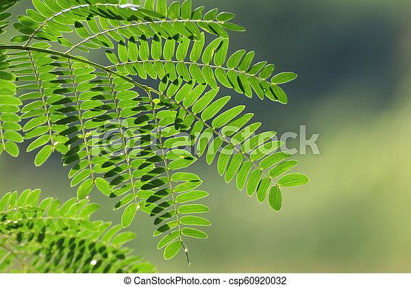 Acacia Leaf Soap Pod Acacia Concinna Willd Dc Green Leaves