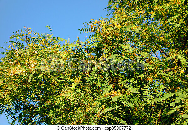 Acacia Tree Prime Time Acacia Tree Crown Blooming With Yellow