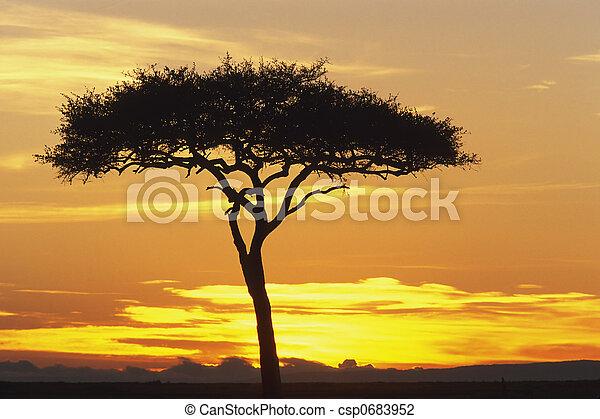 Acacia Tree - csp0683952