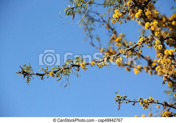 Acacia yellow flower acacia yellow flower csp49942767 mightylinksfo