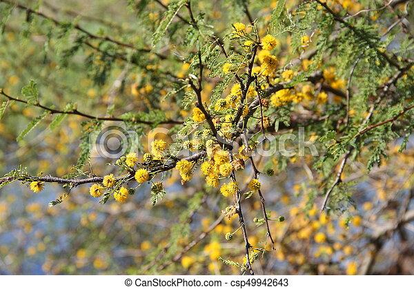 Acacia yellow flower acacia yellow flower csp49942643 mightylinksfo