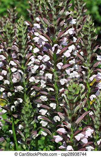 Acanthus Hungaricus Flowers Decorative Border Plant From Southern