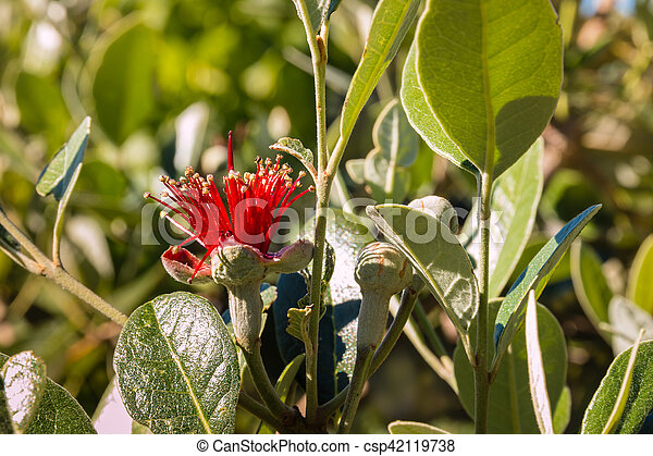 Closeup Of Acca Sellowiana Flower And Buds