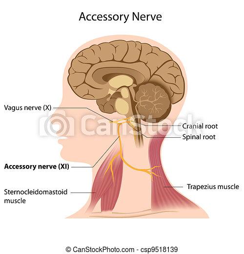 Accessory nerve, eps8 - csp9518139