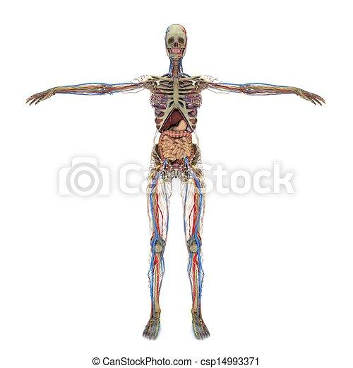 accurate Female Anatomy - csp14993371