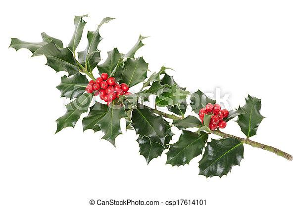 Una rama de Holly en blanco - csp17614101