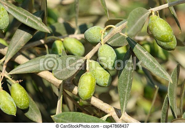 aceitunas, árbol, primer plano - csp47868437