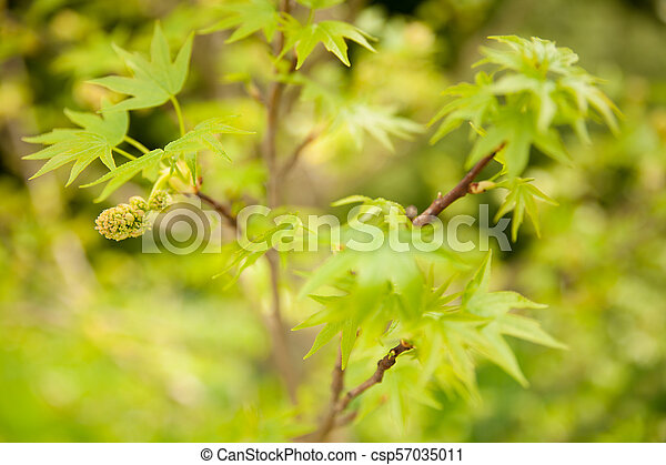 Acer blooming in a park in early spring - csp57035011