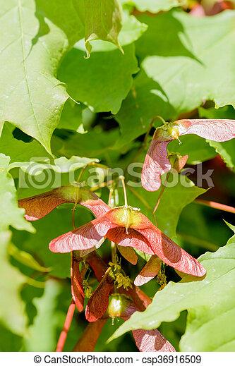 Acer Circinatum Samara Close Up Detail Of Maple Tree Acer