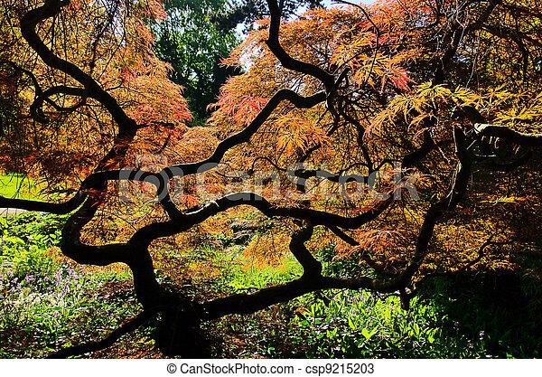 Acer palmatum 01 - csp9215203