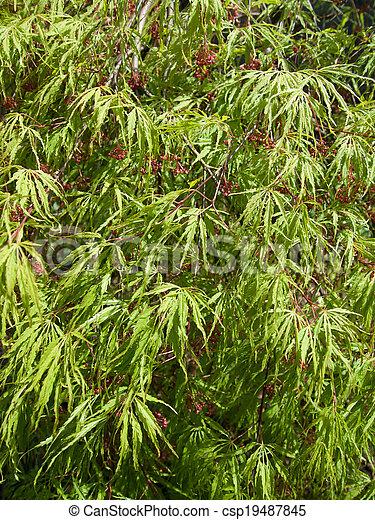 Acer palmatum dissectum - csp19487845