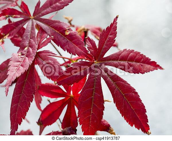Acer palmatum in close up - csp41913787