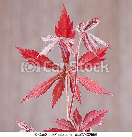 Acer palmatum leaf - csp27432556