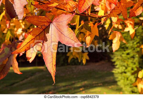 Acer palmatum leaves - csp6842379