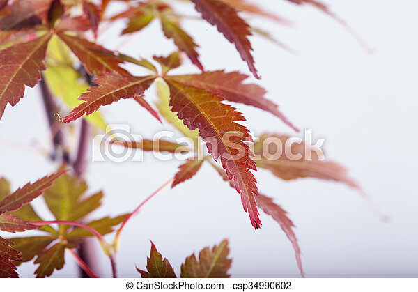 Acer palmatum leaves - csp34990602