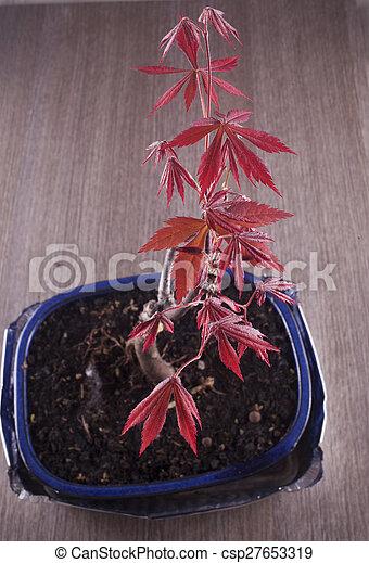 Acer palmatum - csp27653319