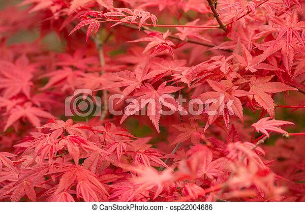 Acer palmatum - csp22004686
