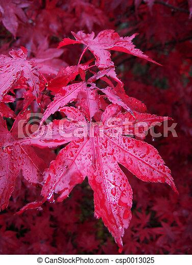 Acer Palmatum - csp0013025