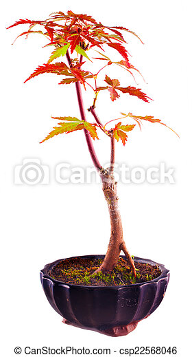 Acer Palmatum Bonsai Acer Palmatum Isolated Over White Background