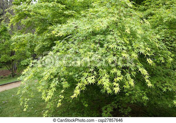 Acer palmatum - csp27857646