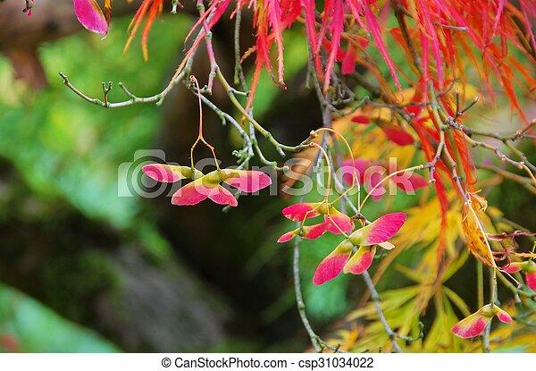 Acer palmatum - csp31034022
