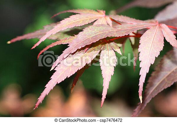 Acer palmatum - csp7476472